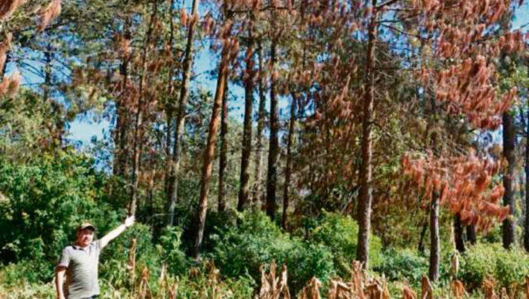 Plaga de gorgojo solo afecta a árboles de pino.