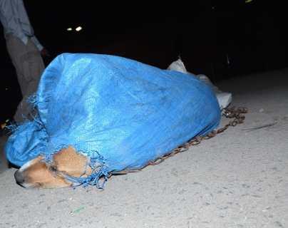 Preocupa desaparición de perros callejeros en Xela