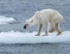 Los glaciares están desapareciendo y esto afecta a la fauna. (Foto Prensa Libre: AFP)
