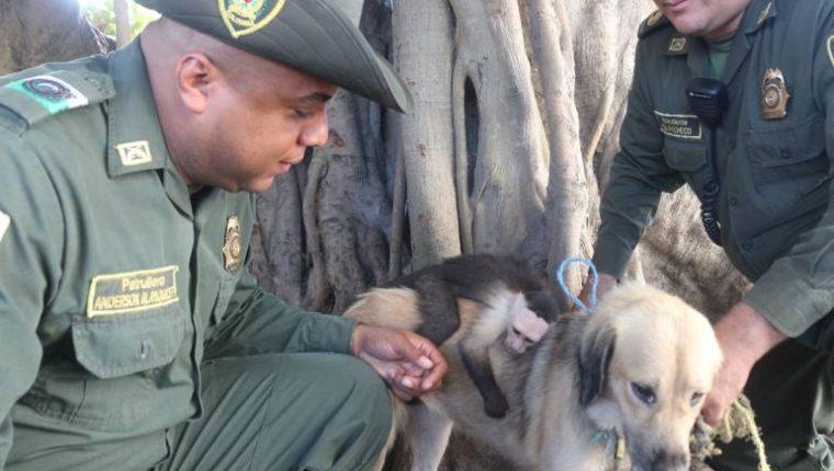 Beto es un mono capuchino que fue adoptado por una perra sin hogar en Colombia. (Foto Prensa Libre: Internet)