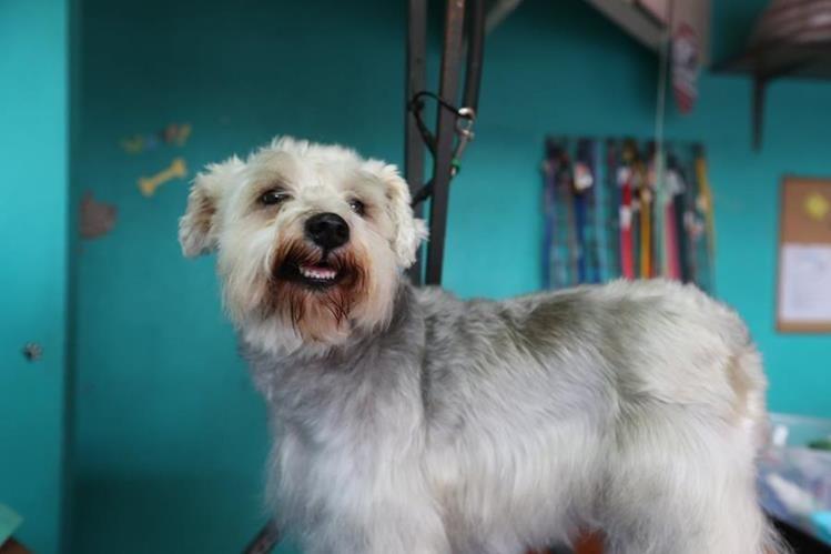 La correcta higiene de su mascota ayudará a evitar problemas de salud y lo mantendrá feliz. (Foto Prensa Libre: Anna Lucía Ibarra)