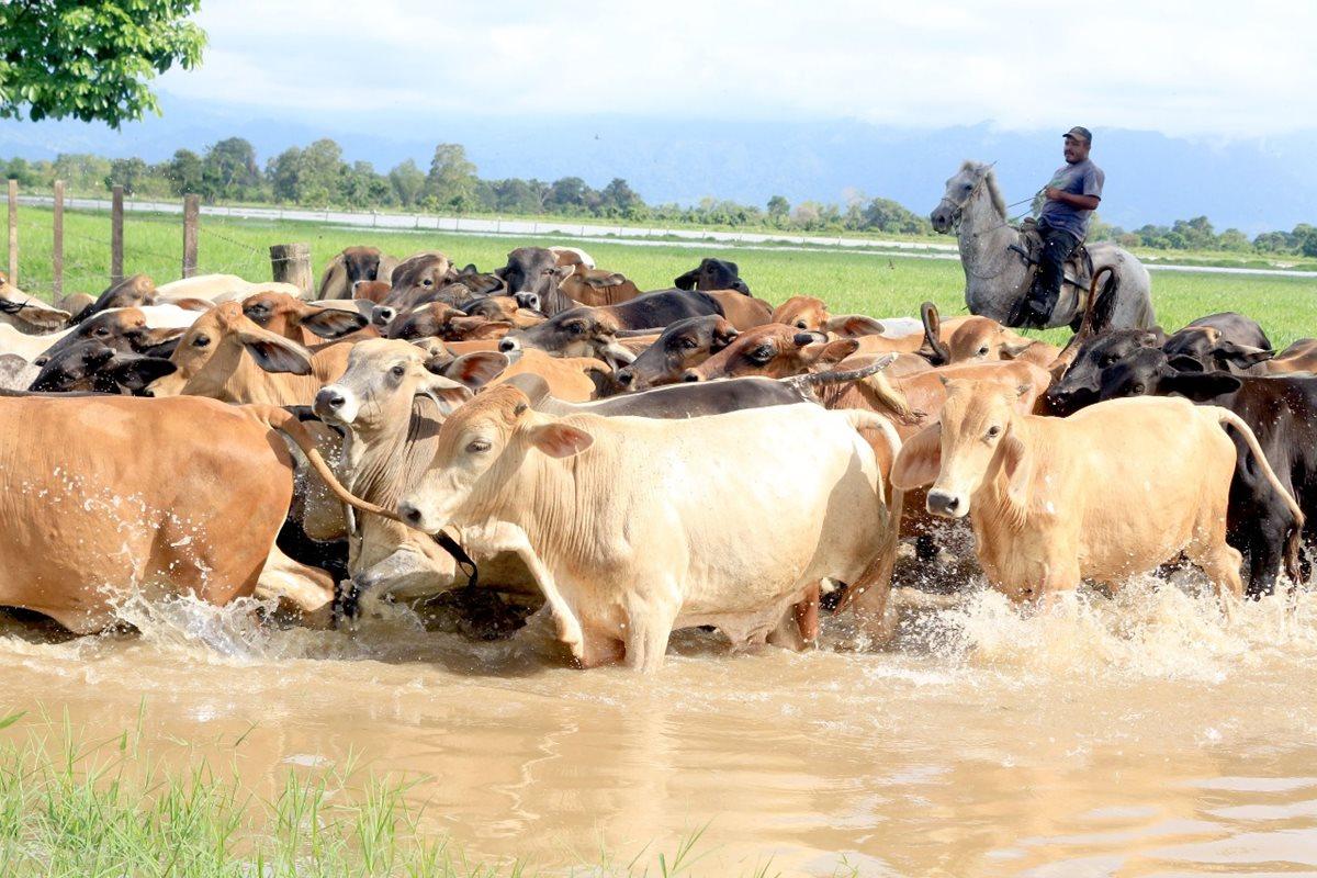 Consumo de carne de res disminuye en Izabal por casos de rabia bovina