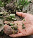 Los daños a los cultivos por la ceniza volcánica constituyen una de las áreas que evalúan los especialistas. (Foto Prensa Libre: Hemeroteca)