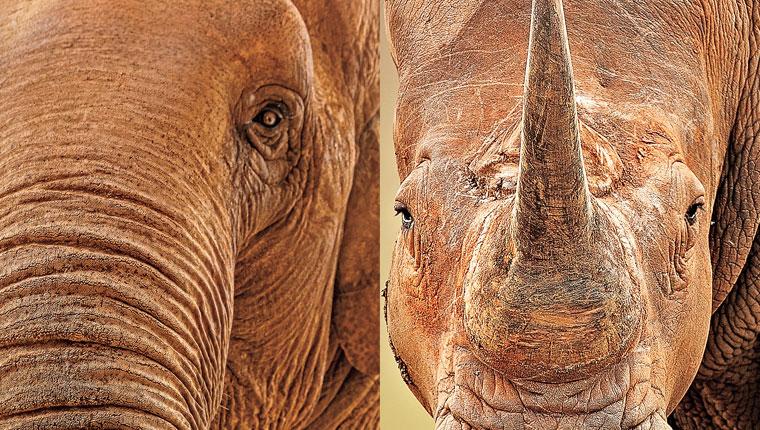 Paquidermos: elefante asiático y rinoceronte