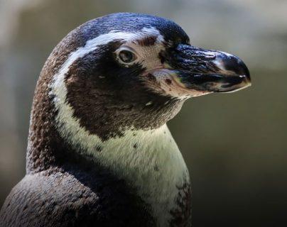 Pingüinos: aves hechas para nadar