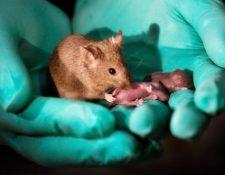 Este ratón adulto tiene dos madres y fue capaz de reproducirse y tener sus propias crías. PA