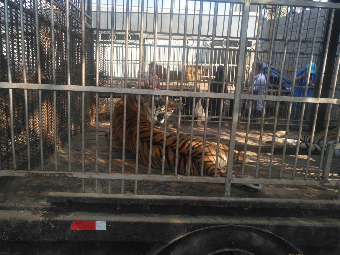 Los tigres fueron localizados en jaulas grandes y con algunas heridas. (Foto Prensa Libre: Cortesía Conap)