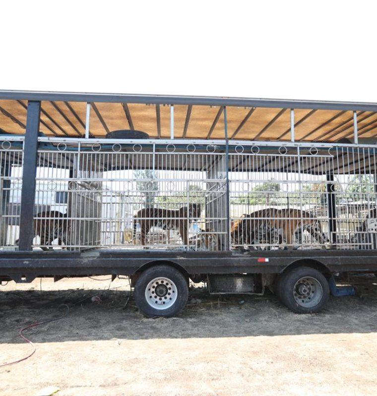 Los animales permanecerán dos semanas en el predio de Chimaltenango. (Foto Prensa Libre: Érick Ávila)