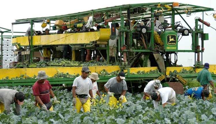 Cientos de guatemaltecos trabajan en el sector agrícola de Canadá, país que ha captado recurso humano. México intenta implementar un plan similar. (Foto Prensa Libre: Hemeroteca PL)