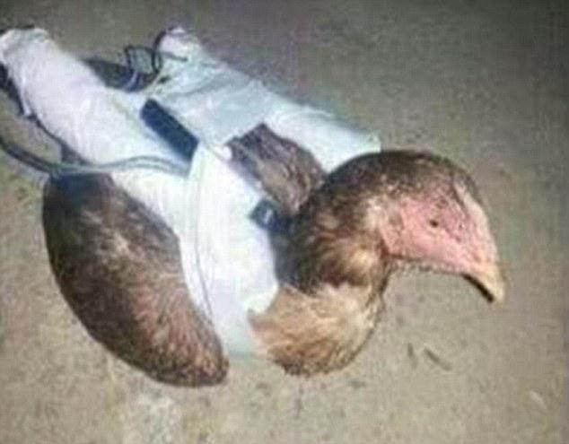Terroristas utilizan gallinas como nuevo método para sus ataques suicidas