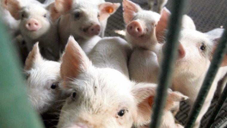 Pronasporc da luz a fondo para apoyar a productores de cerdos.