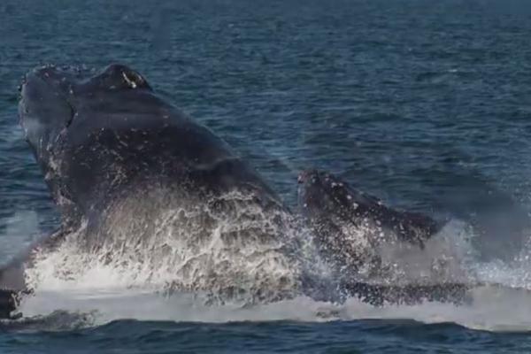 Avistamiento de ballenas en Las Lisas.