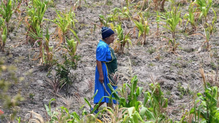 Familias hondureñas han perdido sus cultivos debido a la sequía del corredor seco que afecta a la costa del Pacífico y requieren asistencia alimentaria de emergencia (Foto Prensa Libre: AFP)