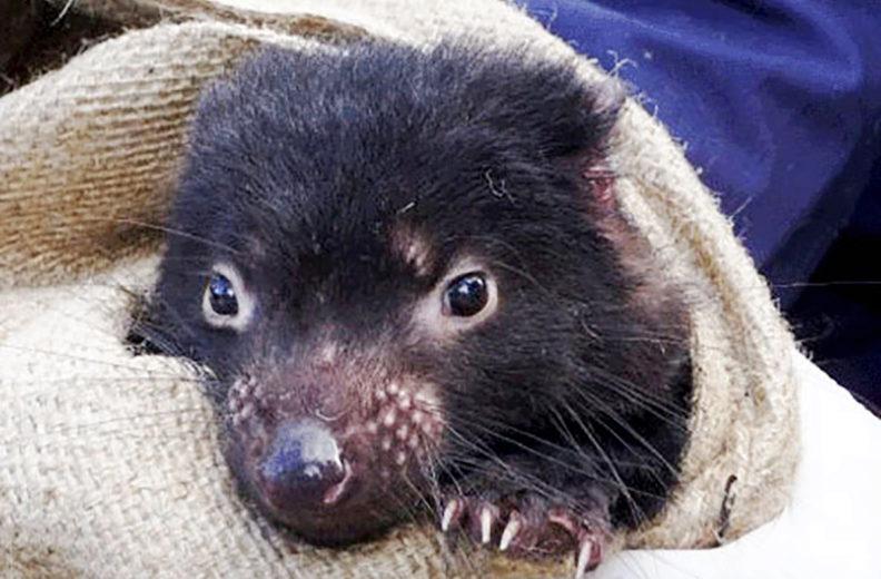 Los demonios de Tasmania se enfrentan a un tumor contagioso el cual les pone en peligro de extinción: Foto Prensa Libre: WSU).