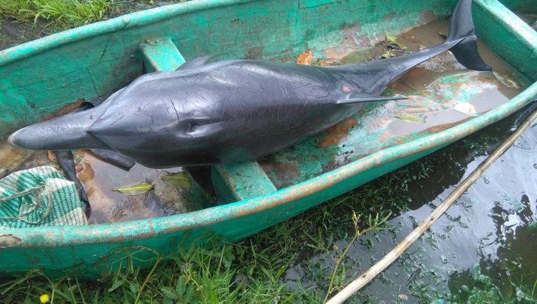 El delfín estaba atrapado entre ramas de mangle y pese a que fue rescatado, murió poco después. (Foto Prensa Libre: Rolando Mirada)