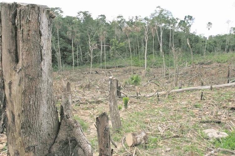 Epecies prohibidas se ven amenazadas por la tala ilegal (Foto Prensa Libre: Hemeroteca)