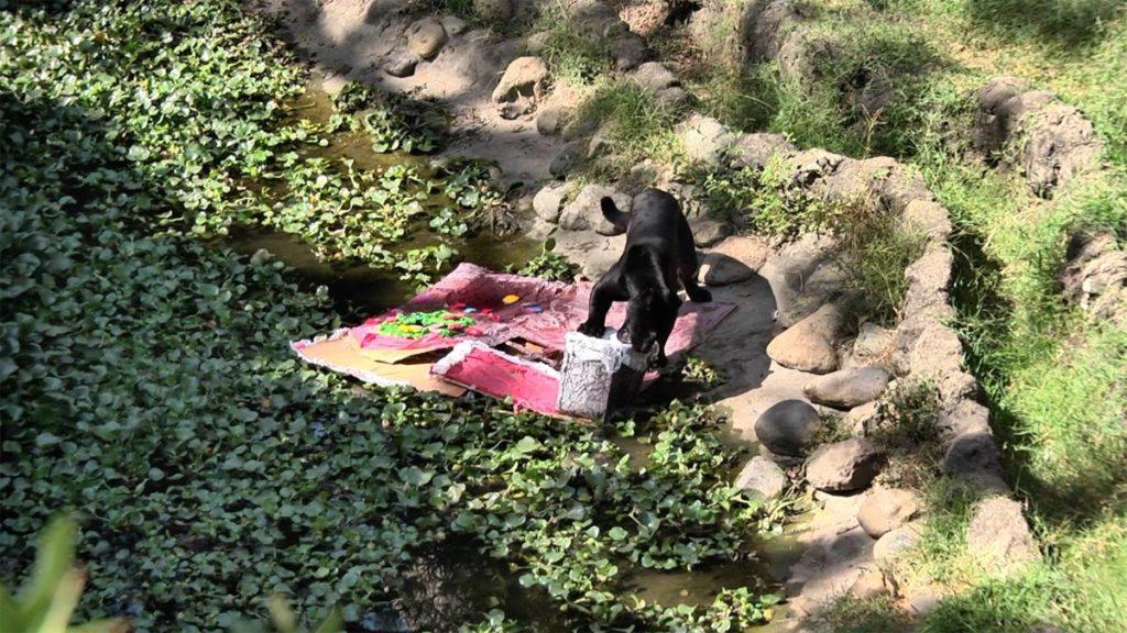 Una pantera revisa el regalo que fue dejado en su recinto.