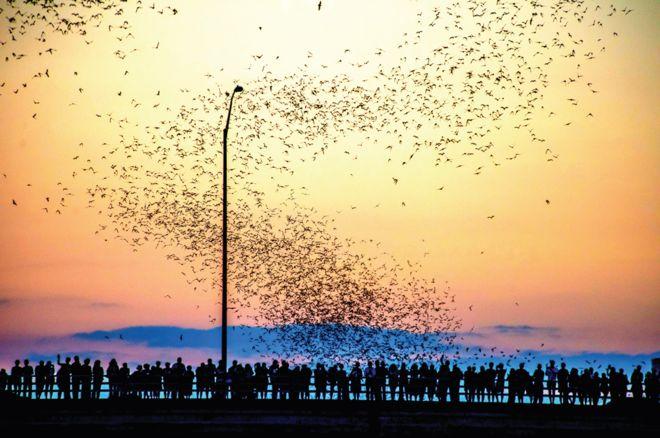 La colonia urbana de murciélagos más grande del mundo vive debajo el puente de la Avenida del Congreso, en Austin, de marzo a octubre.