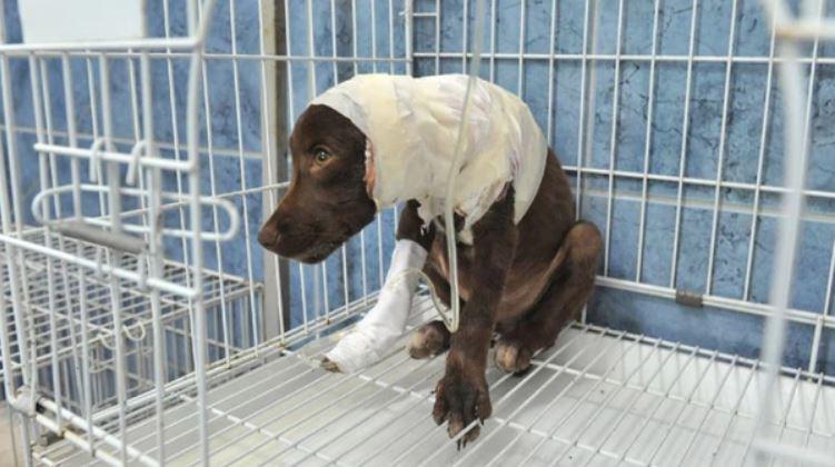 Chocolate murió en una veterinaria días después de haber sufrido el maltrato. (Foto Prensa Libre: La Voz de San Justo).