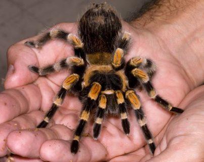 Las tarántulas mexicanas de anillos roja se han convertido en mascotas en muchas partes del mundo. (Foto: Science Photo Library)