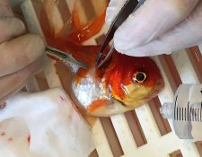 Nemo es preparado para la cirugía que lo liberó de un tumor. (Foto Prensa Libre: AFP).