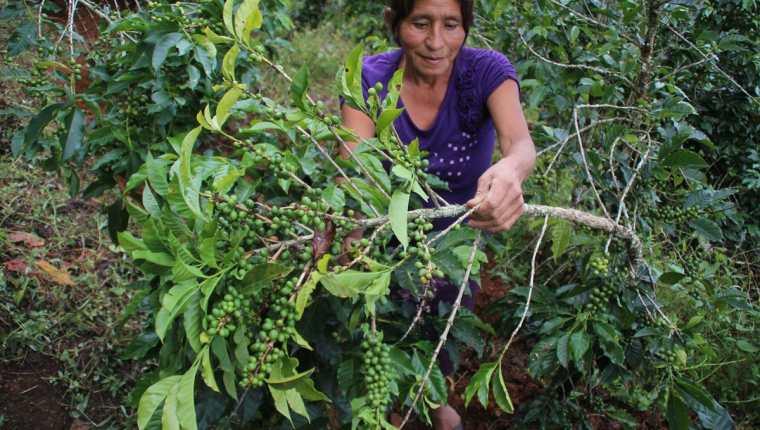 Organismos internacionales trabajarán dos años en el tema del cambio climático en el cultivo del café. (Foto Prensa Libre: Hemeroteca)