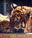 Los tigres cuentan con un recinto mejorado y adaptado a sus necesidades. (Foto Prensa Libre: Cortesía)