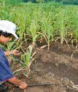 Cultivos de granos básicos podrían dañarse si cae poca lluvia a partir de mayo, que es lo que prevé Oirsa.