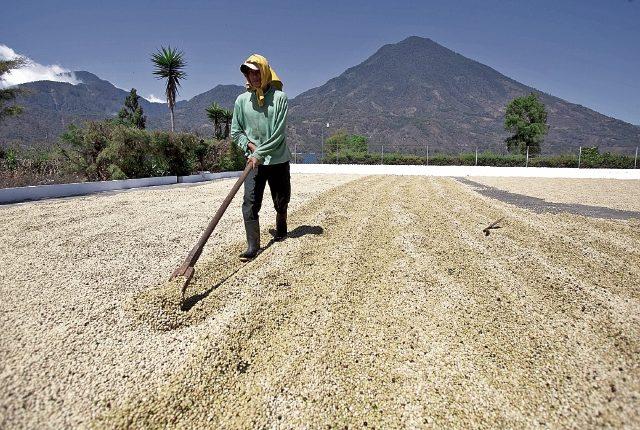La cadena productiva del café cambió. En la actualidad el 80% del grano es producido por 60% de pequeños productores.