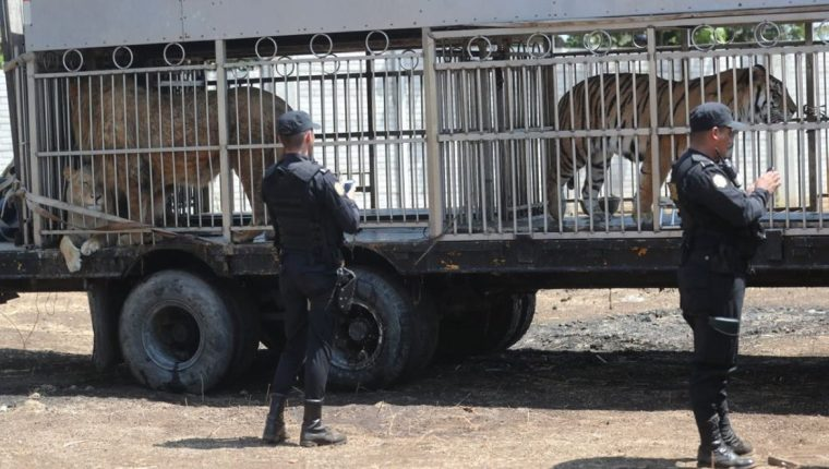 Tigres, leones y otros animales del circo fueron trasladados a un predio de Chimaltenango. (Foto Prensa Libre: Érick Ávila)