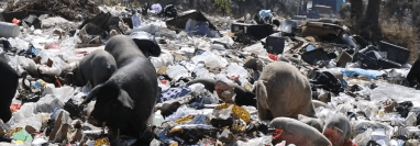 Gran número de cerdos se alimentan todos los días en el basurero municipal de Jalapa, ubicado a un costado del cementerio general. (Foto Prensa Libre: Hugo Oliva)