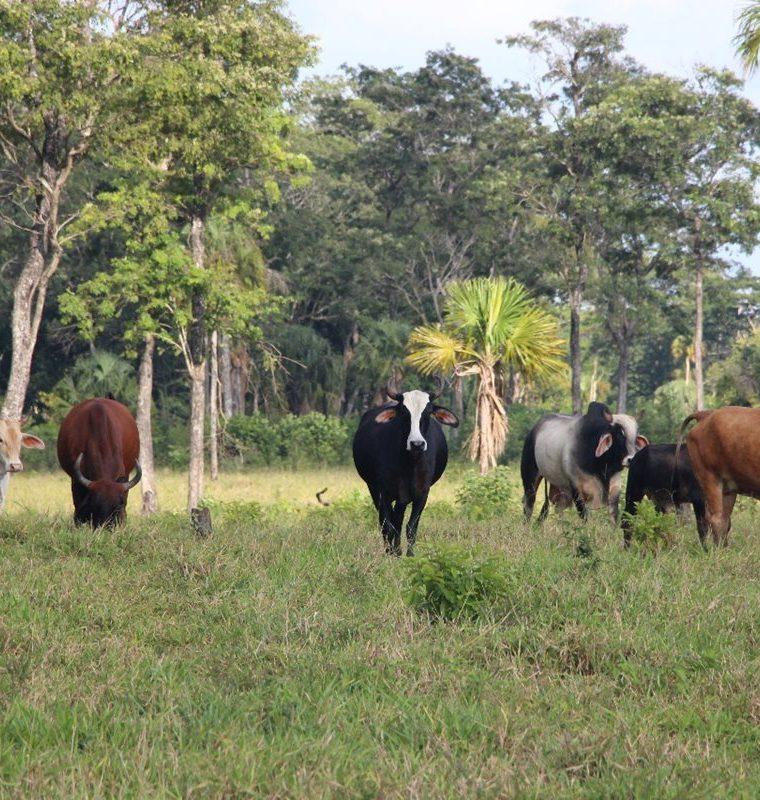 Un lote de ganado también fue recuperado en el interior del Parque Nacional Laguna del Tigre. (Foto Prensa Libre: Rigoberto Escobar)