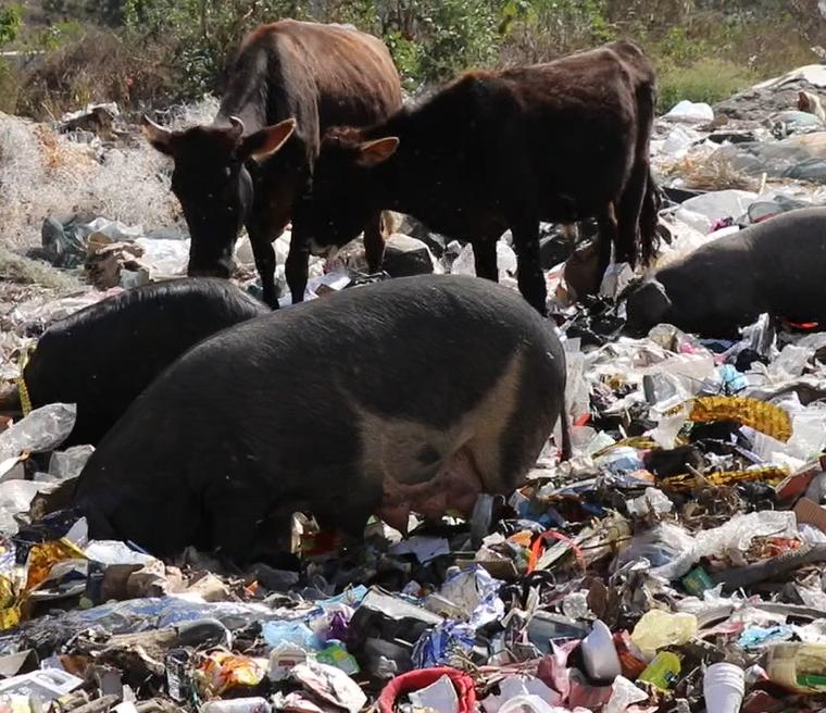 Vacas y cerdos compiten con zopilotes por los desechos, en el vertedero municipal de  Jalapa. (Foto Prensa Libre: Hugo Oliva)