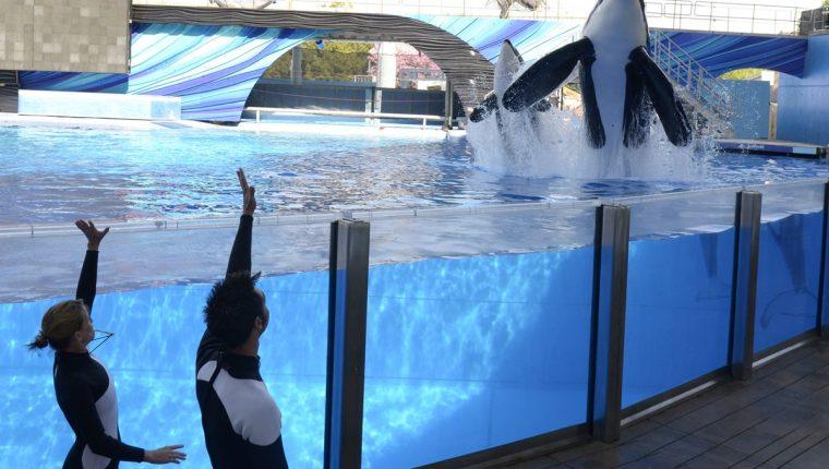 SeaWorld pone fin a la polémica cría de orcas en sus parques temáticos. (Foto Prensa Libre: AP).