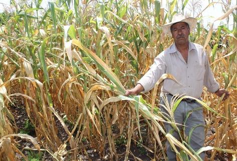 Agricultor de  Oratorio, Santa Rosa, muestra daños en maizales. (Foto Prensa Libre: Oswaldo Cardona)