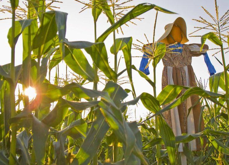 El maíz y los espantapájaros también forman parte de la tradición. GETTY IMAGES