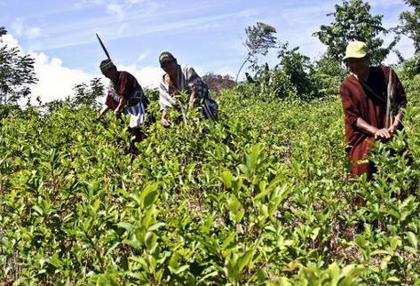 Una plantación de coca en Pichari, Perú, en una imagen. (Foto Prensa Libre. AFP).