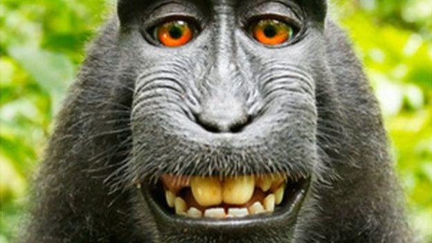 """Un fotógrafo británico ganó una batalla legal de dos años contra PETA, un grupo internacional que defiende los derechos de los animales, por un """"selfie"""" tomado por un mono. WILDLIFE PERSONALITIES/DAVID J SLATER"""