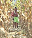 Los agricultores que habitan el Corredor Seco han visto cómo, año tras año, se han perdido sus cultivos. (Foto Prensa Libre: Hemeroteca PL)