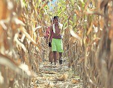 Foto para fines ilustrativos. Más de 40 mil trabajadores, en su mayoría indocumentados, trabajan en los campos de cultivo en Florida. (Foto Prensa Libre. Hemeroteca)