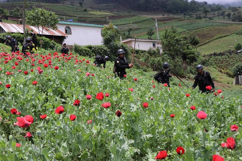 Las autoridades han erradicado grandes extensiones de cultivo de amapola, utilizada para la fabricación de heroína, en Ixchiguán y Tajumulco, San Marcos. (Foto Prensa Libre: Hemeroteca)