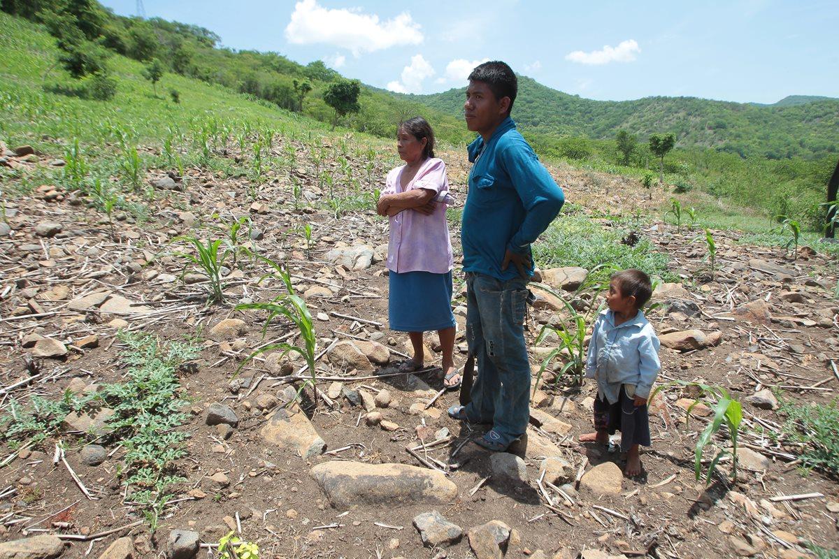 Las siembras no crecieron y no producirán, por lo que solo servirán de zacate para el ganado. (Foto Prensa Libre: P. Raquec)