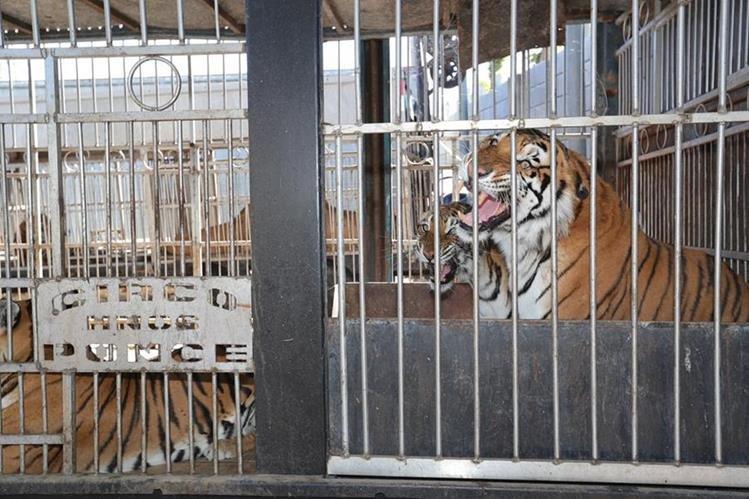 Los tigres del circo Hermanos Ponce permanecen en un predio en Villa Canales. (Foto Hemeroteca PL)