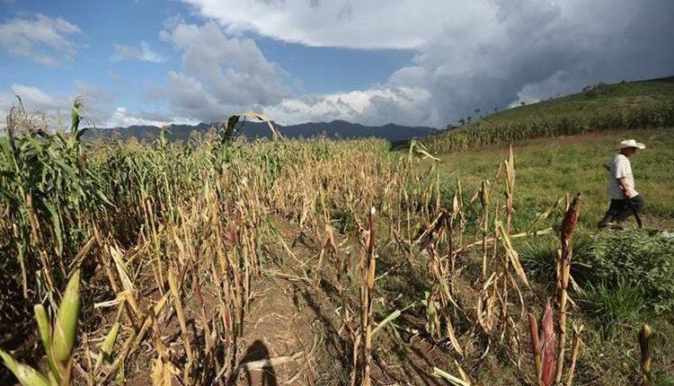 Agricultores del Corredor Seco perdieron casi la totalidad de sus siembras por la sequía. (Foto Prensa Libre: Hemeroteca PL)