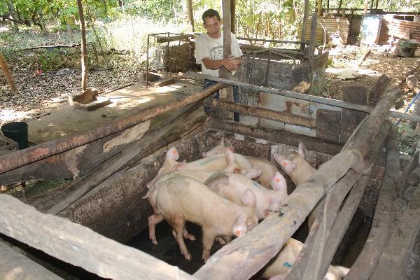 UN BUEN número de vecinos de San Gabriel crían ganado porcino y vacuno, pero carece de rastro.