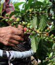 La roya es una enfermedad del café ocasionada por el hongo Hemileia vastatrix, ataca principalmente las plantaciones de las variedades Caturra, Catuaí, Bourbón, Typica, Pache y otras susceptibles. (Foto Prensa Libre: elfinancierocr.com)