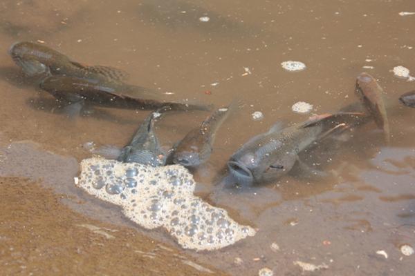 <em><strong>LA GOMERA, ESCUINTLA -</strong></em> Cientos de peces muertos fueron localizados en el río Acomé y el Canal de Chiquimulilla, en aldea El Paredón, La Gomera, Escuintla, por lo que los vecinos piden a las autoridades investigar la causa por la que murieron. Foto: Melvin Sandoval.