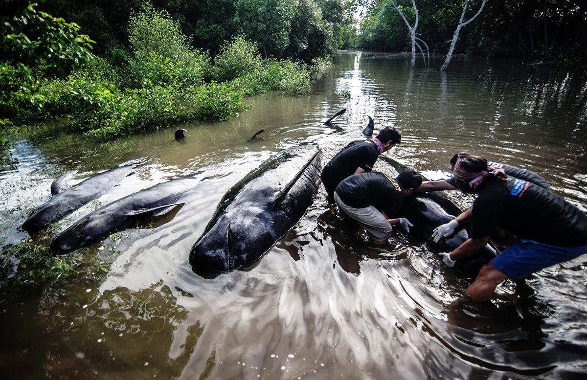 Más de 30 ballenas quedan varadas en playa de Indonesia