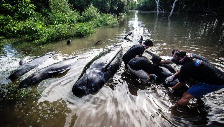 Ambientalistas de Indonesia participan en la operación de rescate de las ballenas.(AFP).
