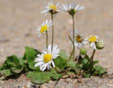 Hasta una flor en la ranura del pavimento puede levantarnos el ánimo. (Foto, Thinkstock)